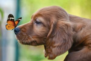 Pourquoi tondre son chien ?